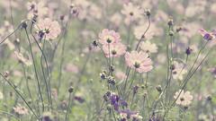 (torugatoru) Tags: pink plant flower green japan nikon sigma cosmos   d90
