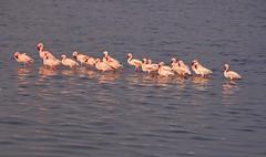 Tanzania (Serengeti National Park) Flamingos