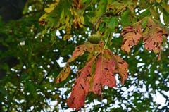 Automne-encore sur l'arbre (isamiga76) Tags: marron marronnier