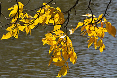 early autumn gold (Charlotte Clarke Geier) Tags: autumngold