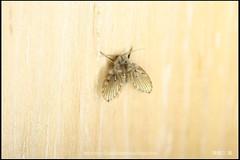 _1X_APSC_03 () Tags: macro canon flickr f e wen wesley mp 28 mm ho dslr f28 animalia arthropoda chen 65 1x diptera 2x  4x insecta mpe 65mm 3x   5x hexapoda pterygota neoptera endopterygota howen  psychodidae  450d nematocera 15x  psychodomorpha albipunctata clogmia  chenhowen   wesleychen  clogmiaalbipunctata psychodoidea