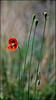 Valley of Cercis (Poria) Tags: flower nature landscape iran outdoor persia valley ایران mashhad khorasan cerci مشهد cercis torghabeh دره طرقبه ارغوان