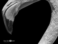 Flamingo (alan benchoam) Tags: abstract bird animal mouth flamingo pico curve boca minimalistic animalia benchoam alanbenchoam