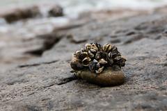 Mobile Home (Alain Godard) Tags: lake ontario canada beach stone rocks wildlife shore mussel
