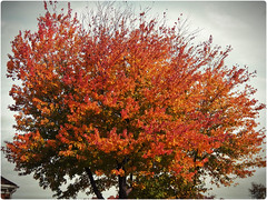 Almost impressionistic (MissyPenny) Tags: autumn orange tree fall pennsylvania southeasternpa