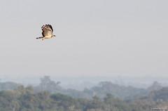 Crested Eagle (Morphnus guianensis) (chrysoptera) Tags: crestedeagle morphnusguianensis eagle biologicaldynamicsofforestfragmentsproject amazon manaus brazil