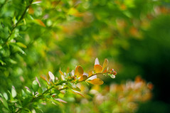 A garden isn't meant to be useful.  Its for joy. (Paulina_77) Tags: red summer orange plant blur detail nature leaves yellow closeup vintage garden lens botanical 50mm prime leaf blurry bush aperture flora nikon focus scenery warm branch dof open bright blossom bokeh outdoor vibrant background branches magic details rich wide mother vivid peaceful blurred depthoffield foliage mount german greens m42 bloom greenery botanic serene shallow shrub pentacon f18 sunlit joyful magical depth palette selective 50mm18 uplifting focusing 5018 d90 pentacon50mmf18 bokehlicious pentacon50mm nikond90 multicoated pentacon50mm18 pola77