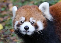 234A3613.jpg (Mark Dumont) Tags: red animals mammal zoo panda mark cincinnati dumont specanimal
