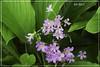 Purple, petite and pretty... (Maria Luiza S) Tags: purple roxo flower flor petite pequena florzinha