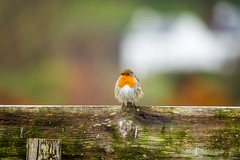 Round Robin (rog_rocks) Tags: robin erithacusrubecula sigma150500mmf563apodgoshsm