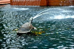 Turtle in Archibal Fountain, Hyde Park. (aneishka) Tags: park water fountain turtle sydney hyde