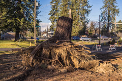 Uprooted Trunk (Simply Angle) Tags: storm tree cars lines power wind down dirt pines damage trunk debri canonfd a7ii canonfd50mmf18 deerparkwa sonyphotographing sonyphotography ilce7m2