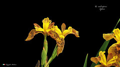 I COLORI DELLA NATURA. (Salvatore Lo Faro) Tags: iris verde nature nikon natura giallo fiore salvatore d300 lofaro