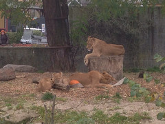 305/365 Lion family hanging out