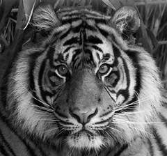 "Tiger ""Asim"" (HendrikSchulz) Tags: bw cat zoo tiere blackwhite feline tiger bigcat sw katze heidelberg raubkatze schwarzweis 2013 zoobesuch zooheidelberg groskatze löwenlauf"