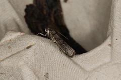 Ctenomeristis almella (dhobern) Tags: december australia lepidoptera pyralidae act aranda 2015 phycitinae ctenomeristis almella