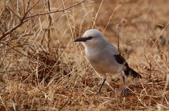Stresemann's Bush-crow (aka Ethiopian Bush-crow), Soda, Ethiopia (ebuechley) Tags: bird scenery wildlife birding conservation ethiopia