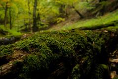 Green death ( V ) Tags: autumn oktober mountain tree verde green fall nature forest moss october montana hungary hiking path decay natura bosque gunung hungria hutan hijau bois otono hongrie bukk bukkmountains