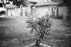 (Benz Doctolero) Tags: rural bts bw black white monochrome kodak trix 400 california set movie vegetation tree canon t50 50mm
