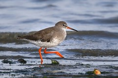 Redshank 62477 (wildlifetog) Tags: redshank blackmore britishisles britain bird birds beach british bembridge harbour isleofwight uk mbiow martin canon coast england wild wildlifeeurope wildlife water wader waders wading nature european eos7dmkii