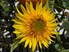 Sunflower (Gartenzauber) Tags: garten natur sony gelb floralfantasy doublefantasy saariysqualitypictures