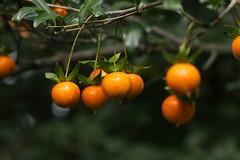 Diospyros cathayensis (seed)   (ashitaka-f studio k2) Tags: seed orange diospyros cathayensis   ebenaceae