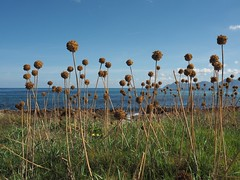 Coastal plant life. (CWhatPhotos) Tags: plants coast majorca canpicfort spain cwhatphotos camera photographs photograph pics pictures pic picture image images foto fotos photography artistic that have which contain with olympus four thirds 43 spanish mallorca island october 2016 weather