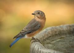 Eastern Bluebird (NA birds by Carol) Tags: eastern bluebird