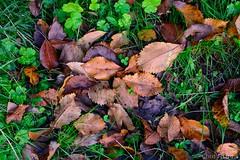 The carpet of autumn (Chris Ntardis graphy) Tags: red carpet foliage nature greece ioannina leaves