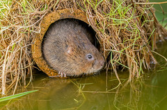 JWL5670  Water Vole.. (jefflack Wildlife&Nature) Tags: watervole vole voles rodents animals animal wildlife wetlands waterways rivers riverbanks ponds lakes countryside nature