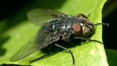 Test shot -fly 4K to 1080p +5 dioptre (Brian Flint) Tags: fly dioptre closeup macro diptera tz80 marumi
