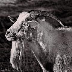 A Wise Old goat (Romair) Tags: sliderssunday goat beardedgoat oldgoat cortemaderamarsh rogerjohnson 500x500