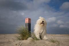 beach days (dewollewei) Tags: ameland hollum waddeneilanden wadden wad oes bobtail dewollewei sophieandsarah sophieensarah oldenglishsheepdog oldenglishsheepdogs dogs beach sea sky