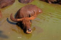 havin' a mud bath.... (Jinky Dabon) Tags: canoneos1200d farmanimals domesticatedanimals animals animal bubalusbubalis backwardcurvinghorns horns waterbuffalo buffalo mammal