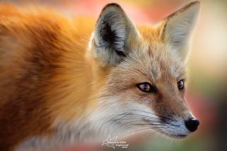 Foxy �