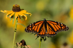 monarch and black-eyed susan (BobRobin) Tags: chicago lincolnpark montrose blackeyedsusan brushfoots butterfly flower insect milkweedbutterflies monarchbutterfly
