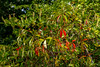 Parthenocissus quinquefolia (Virginia creeper) on Clethra alnifolia (sweetpepperbush) (tgpotterfield) Tags: marthasvineyard massachusetts chilmark parthenocissusquinquefolia parthenocissus vitaceae virginiacreeper clethraalnifolia clethra clethraceae sweetpepperbush chilmarkmarthasvineyard usa