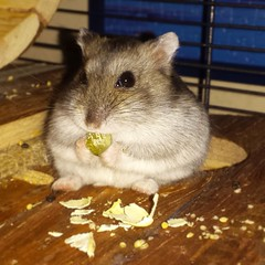 Sawyer (FranTravelStories) Tags: hamster criceto fluffy hairy animal pet animallovers pets animali animals dwarf food