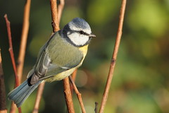 A bold bluetit (david.england18) Tags: bluetit smallbirds various tits coal great blue birdsuk robins nuthatches queensparkheywood canon7d canonef300mmf4lisusm