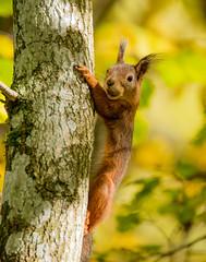 Squirrel (dunderdan77) Tags: squirrel djur ekorre wildlife nature natur helsingborg skne sweden skogen woods hst
