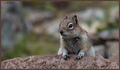 Golden-mantledGroundSquirrel_6D_1134 (CrzyCnuk) Tags: goldenmantledgroundsquirrel groundsquirrel squirrel alberta canada canon canon6d wildlife