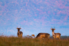 Young stags (adambotond) Tags: stag stags fallowdeer deer damadama brzsny ngrd dusk nature naturephotography wildlife wild ww wildlifephotography wildanimal outdoor animal wilderness canon canoneos1div canoneos1dmarkiv canonef400mmf56l hungary magyarorszg europe dmvad