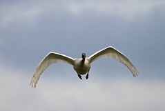 Trumpeter Swan (jerrygabby1) Tags: