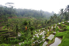 Rice fields in Ubud (charly1684) Tags: bali indonesia ricefields riceterrace landscape misty southeastasia rice