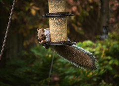 Seed thief (Jackx001) Tags: 2016 canada fall jacknobre lakeshore laura october ontario portrait skyline toronto ducks lakeontario squirel backyard garden
