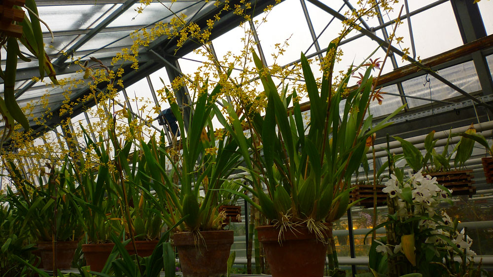 Oncidium sp - sénat