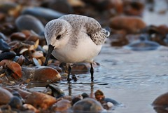 Sanderling (Calidris alba) Dungeness NNR (GrahamParryWildlife) Tags: grahamparrywildlife sigma 150600 sport 150 600 canon 7d mkii outdoor animal depth field mk2 uk kent rspb viewing photo flickr add new sunlight up blue dof kentwildlife dungeness sanderling shingle wader beach sea bird pebbles