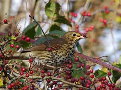 song thrush (3) (Simon Dell Photography) Tags: thrush mistle bird nature detaile macro close up sunlight red berrys festive image photo castleton derbyshire peak district uk britain country side valley hope national park high 2016 simon dell photography sheffield england views old new pics pictures winter autumn