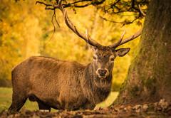 Red Deer (Nature_77) Tags: reddeer rothirsch animal geweih echterhirsch wildtier knigdeswaldes wildundwanderparksilz stirnwaffentrger cervini pecora cervidae edelhirsch herbst autumn silz
