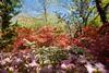 _MG_4421 (TobiasW.) Tags: spring frühling fruehling garden gardenflowers gartenblumen gärten garten blue mountains nsw australien australia backyard public